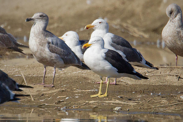 Kelp Gull Photo @ Kiwifoto.com