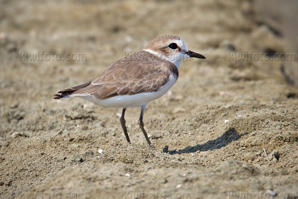 Kentish Plover Picture @ Kiwifoto.com