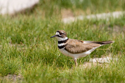 Killdeer Photo @ Kiwifoto.com