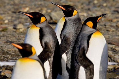 King Penguin Photo @ Kiwifoto.com