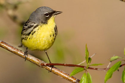Kirtland's Warbler Picture