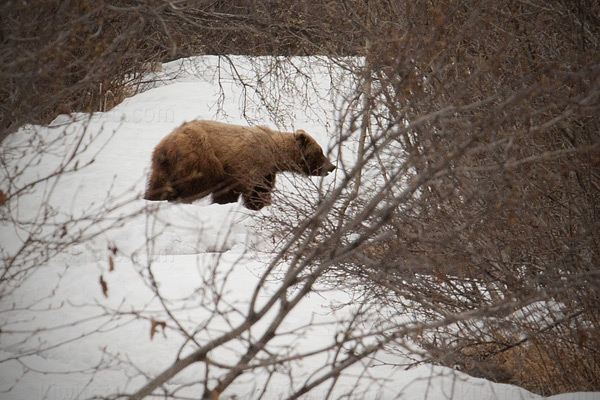 Kodiak Bear Image