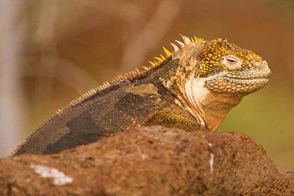 Land Iguana Photo @ Kiwifoto.com