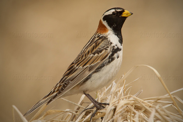 Lapland Longspur Photo @ Kiwifoto.com