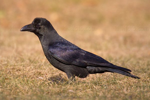 Large-billed Crow Picture