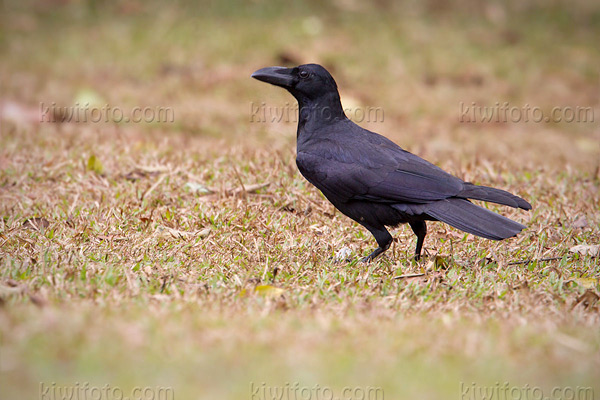 Large-billed Crow Picture @ Kiwifoto.com
