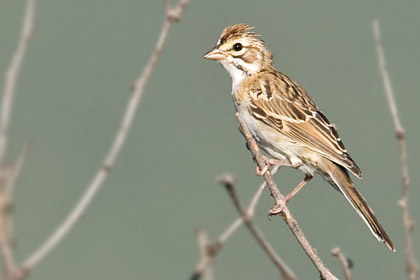 Lark Sparrow Photo @ Kiwifoto.com