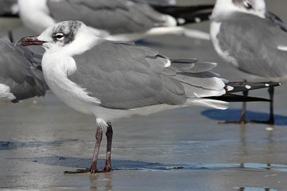 Laughing Gull Image @ Kiwifoto.com