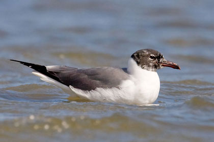 Laughing Gull Photo @ Kiwifoto.com