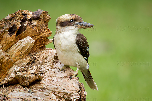 Laughing Kookaburra Video