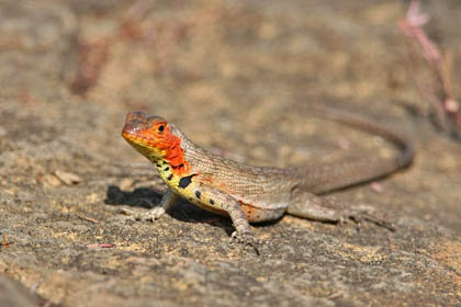 Lava Lizard Photo @ Kiwifoto.com