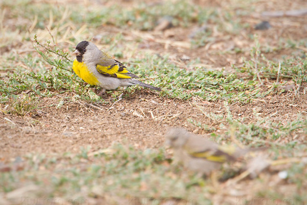 Lawrence's Goldfinch @ Santa Paula (Teague Park), CA