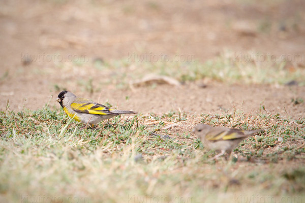 Lawrence's Goldfinch Photo @ Kiwifoto.com