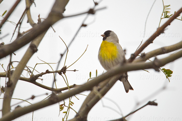 Lawrence's Goldfinch Picture @ Kiwifoto.com
