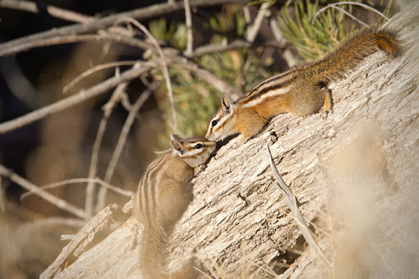 Least Chipmunk Photo @ Kiwifoto.com