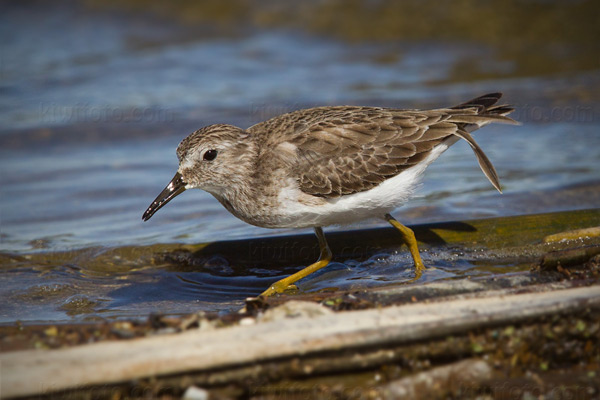 Least Sandpiper Photo @ Kiwifoto.com