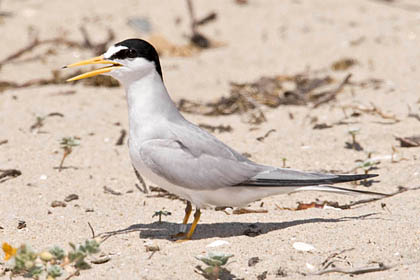 Least Tern Photo @ Kiwifoto.com