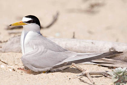 Least Tern (with chick)