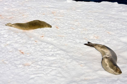 Leopard Seal (Crabeater and Leopard Seal)
