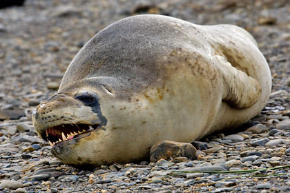 Leopard Seal Photo @ Kiwifoto.com