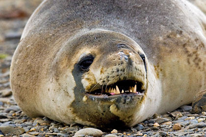 Leopard Seal Picture