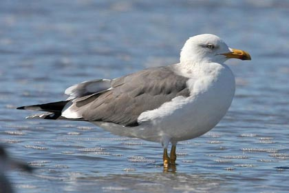 Lesser Black-backed Gull Picture