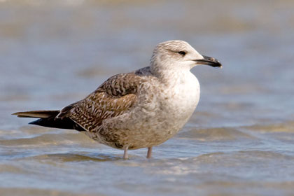 Lesser Black-backed Gull Picture @ Kiwifoto.com