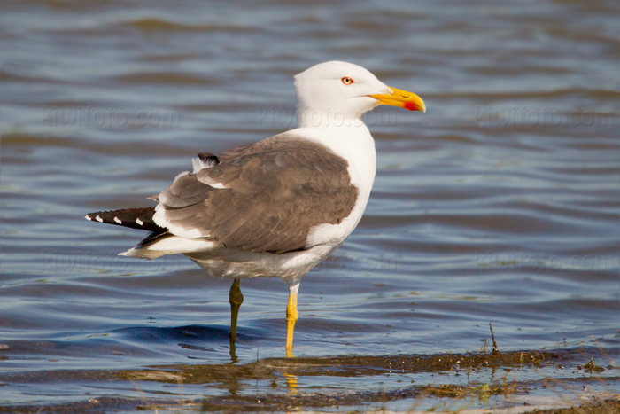 Lesser Black-backed Gull Photo @ Kiwifoto.com