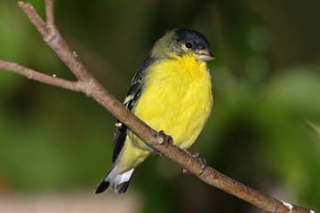 Lesser Goldfinch Picture @ Kiwifoto.com