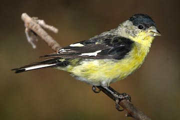 Lesser Goldfinch Photo @ Kiwifoto.com