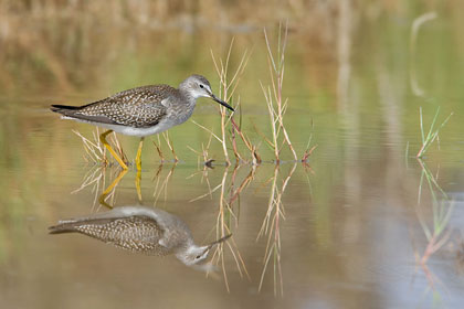 Lesser Yellowlegs Image