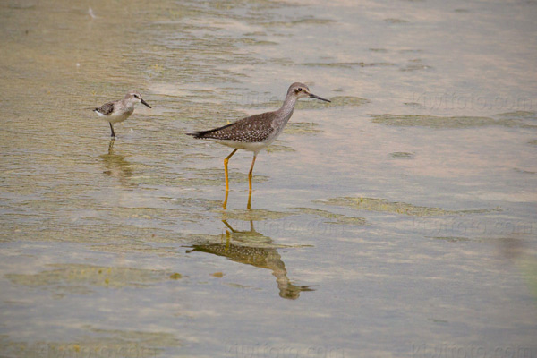 Western Sandpiper (w/Lesser Yellowlegs)