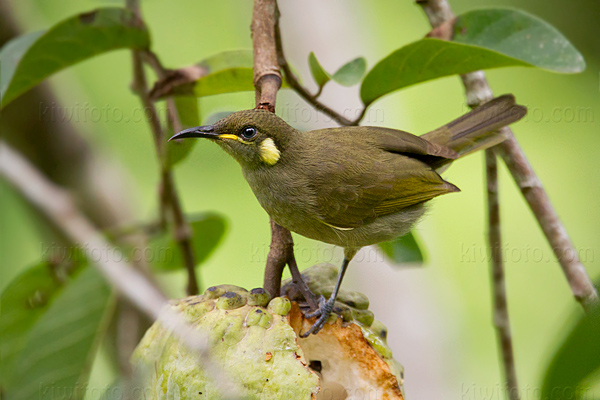 Lewin's Honeyeater Photo @ Kiwifoto.com