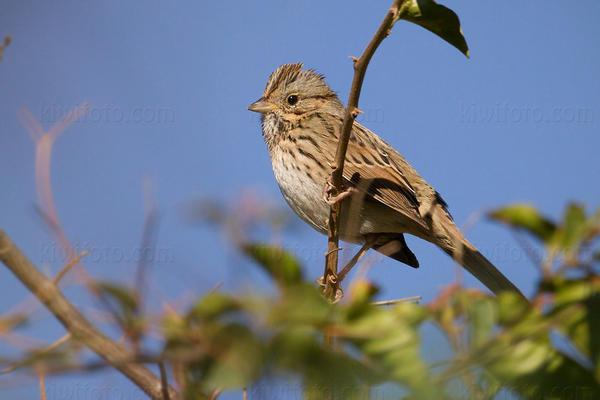 Lincoln's Sparrow @ Los Angeles, CA