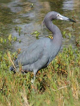 Little Blue Heron Picture @ Kiwifoto.com