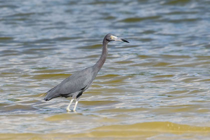 Little Blue Heron Photo @ Kiwifoto.com