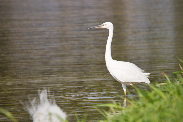 Little Egret Picture @ Kiwifoto.com