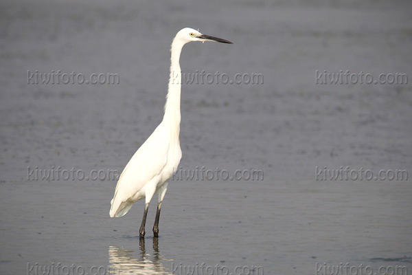 Little Egret Photo @ Kiwifoto.com