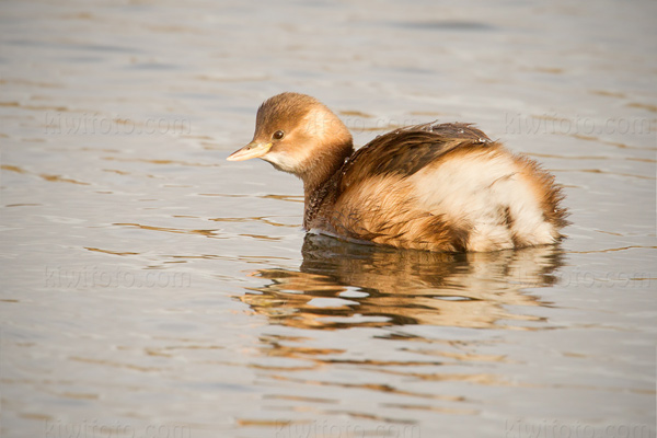 Little Grebe Picture @ Kiwifoto.com