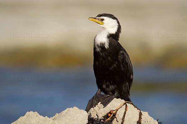 Little Pied Cormorant Photo @ Kiwifoto.com