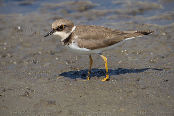 Little Ringed Plover Photo @ Kiwifoto.com