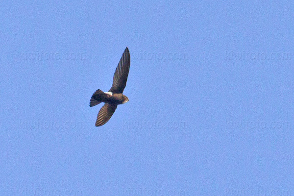 Little Swift Picture @ Kiwifoto.com