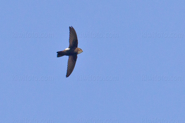 Little Swift Image @ Kiwifoto.com
