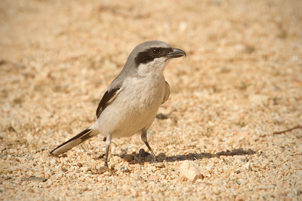 Loggerhead Shrike Photo @ Kiwifoto.com