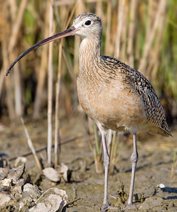 Long-billed Curlew Image @ Kiwifoto.com