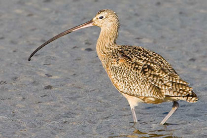 Long-billed Curlew Picture @ Kiwifoto.com