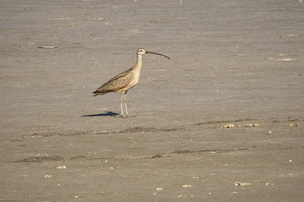 Long-billed Curlew @ Ballona Creek (Salt Panne), CA