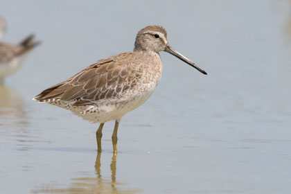 Long-billed Dowitcher Picture