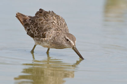 Long-billed Dowitcher Photo @ Kiwifoto.com
