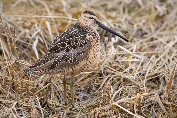 Long-billed Dowitcher Image @ Kiwifoto.com